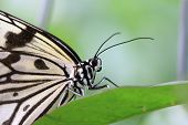 stock photo of nymphs  - Large Tree Nymphs butterfly on the green leaf - JPG