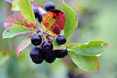 stock photo of chokeberry  - Black chokeberry Aronia melanocarpa (Photinia melanocarpa), outdoor photo