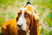 picture of basset hound  - White And Brown Basset Hound Dog Close Up Portrait - JPG