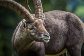 stock photo of encounter  - Very impressive animal that you can encounter in the Alps mountain