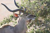 foto of buck teeth  - Kudu feeding on a young tree - JPG
