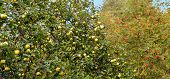 image of mountain-ash  - a lot of big flavovirent heavy apples on an apple - JPG