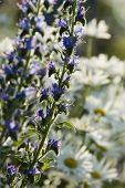 stock photo of manor  - Blueweed and Chamomile daisy - JPG