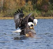 image of fish-eagle  - mating pair of Bald Eagles eating fish on log at lake