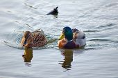 pic of duck pond  - A pair of mallard ducks floating on the pond - JPG