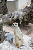 stock photo of meerkats  - meerkat is sitting on th rock see photographer - JPG