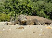 stock photo of komodo dragon  - Close up view at Komodo Dragon in Indonesia - JPG