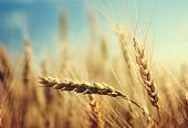 pic of fall-wheat  - golden wheat field and sunny day - JPG