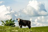 stock photo of kansas  - Cow grazing on a prairie field in the flint hills of Kansas - JPG