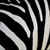foto of common  - Animal skin Common Zebra or Burchell - JPG