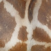 picture of herbivore animal  - Genuine leather animal skin of Giraffe  - JPG