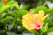picture of hibiscus flower  - Shoe Flower Chinese Rose or Hibiscus flowers on the branch was taken in nature - JPG