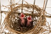 picture of infant  - Two infant birds open their mouth when being photograph - JPG