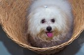 stock photo of dog breed shih-tzu  - Shih tzu puppy breed tiny dog in basket - JPG