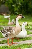 stock photo of household farm  - White And Grey Geese On Natural Green Background  - JPG