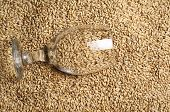 foto of malt  - Beer glass full of barley malt lying on malt grains - JPG