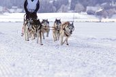 pic of sled  - Group of sled dogs running through lonely winter landscape - JPG