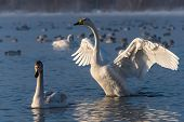 picture of spread wings  - Swan standing in the lake wings spread in a winter sunny day - JPG