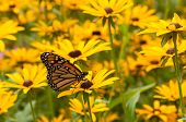 foto of monarch  - An increasingly rare Monarch butterfly feeds on the nectar of some wildflowers in a Wisconsin park on a warm late summer day - JPG