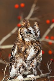 pic of screech-owl  - Red Eastern Screech Owl perches on branch surrounded by red berries and autumn colors - JPG