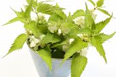 stock photo of sting  - Fresh stinging nettles with white flowers in blue cup - JPG