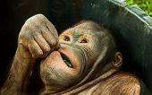 image of orangutan  - A detailed shot of an orangutan eating green leaf - JPG