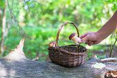 stock photo of chanterelle mushroom  - Wicker basket full of various kinds of mushrooms in a forest - JPG