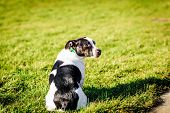 picture of jack russell terrier  - Jack Russell terrier dog in a park on grass - JPG