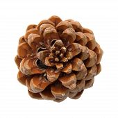 picture of pinus  - Pinus pinea stone pine cone isolated on white - JPG