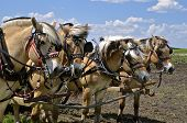 stock photo of harness  - A team of four horses are harnessed and stand in a field where they are pulling an item of machinery - JPG