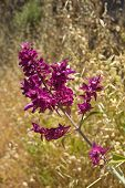picture of salvia  - dark purple flowers of canarian sage Salvia canariensis - JPG