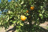 picture of orange-tree  - Oranges on a branch - JPG