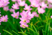 stock photo of lily  - Beautiful Zephyranthes Lily Rain Lily Fairy Lily Little Witches in the garden - JPG