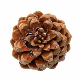 stock photo of pinus  - Pinus pinea stone pine cone isolated on white - JPG