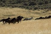 stock photo of wild horse running  - Wild horses running in tall grass in eastern Washington - JPG