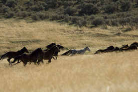 pic of wild horse running  - Wild horses running in tall grass in eastern Washington