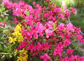 Big Pink Azalea Or Rhododendron In A Organic Garden, Season Of Flowering Azaleas . Azaleas Are Shade poster