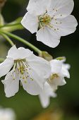 Save Download Preview Flowers On The Branches Of A Tree Cherry Spring. Blossoming Branch Close-up. S poster
