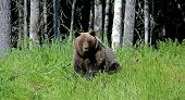 An Adult Brown Bear Sitting On The Edge Of The Forest. The Photo Was Taken In Russian Taiga. poster