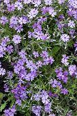 Aubrieta Cultorum - Purple Or Purple Small Flowers. Beautiful Purple Flowers Background. Small Flowe poster