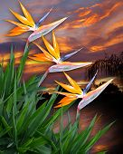 stock photo of bird paradise  - Image and illustration composition of bird of paradise flowers against a tropical sunset - JPG