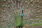 picture of peahen  - this peacock is in full display looking to win over a female peahen - JPG