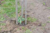 A Small Oak Tree. Oak Grows. Have Planted An Oak. poster