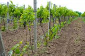 foto of moscato  - Young vineyard - JPG