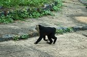 Lion-tailed Macaque Walking.portrait Of Lion Tailed Macaque, Full Body, Close Up poster