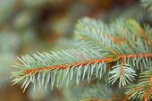 Blue Or Silver Spruce Needles Texture Background. Engelmann Spruce Pattern. Nature Texture Of Picea  poster