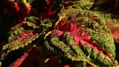 Wavy Leaf Texture, Full Color, Wavy Texture An Asian Endemic Plant poster