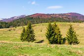 Mountainous Countryside In Springtime. Spruce Trees On The Grassy Hills. Spots Of Snow On The Distan poster