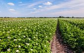 stock photo of solanum tuberosum  - Flowering potato plants in a large field at the edge of a small village - JPG