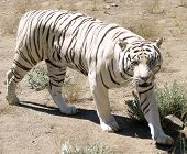 image of white-tiger  - a white tiger walking in open field - JPG